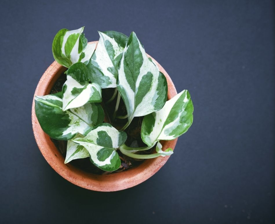 Pothos Plant that resembles the leaf of Spring